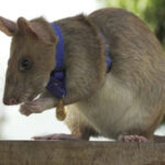 Giant Rat Wins Animal Hero Award For Sniffing Out Land Mines