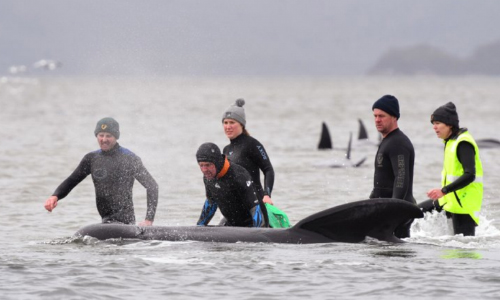 Australian Rescuers Save 25 Of 270 Stranded Whales So Far