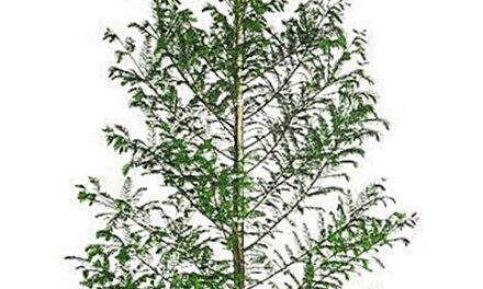 City Of Hickory And CAC To Give Away Trees This Sat., Oct. 3