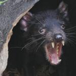Feisty Tasmanian Devils Roaming Australian Mainland Again