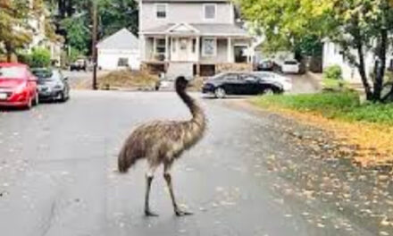 Authorities Use Pear To  Capture Escaped Emu