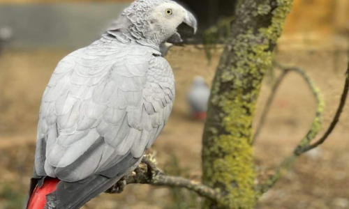 Gray Parrots Separated At Zoo For Swearing Too Much