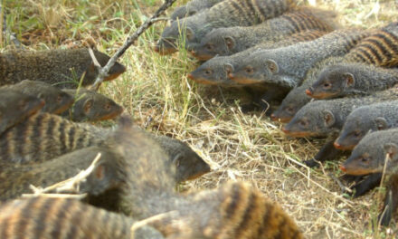 Female Banded Mongooses Lead Battle To Find Mates