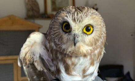 Owl Found In Rockefeller Center Tree Could Take Flight Soon