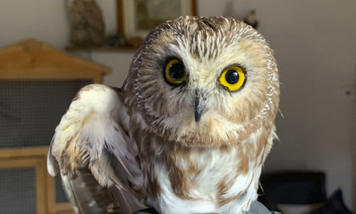 Owl Found In Rockefeller Center Tree Could Take Flight Soon