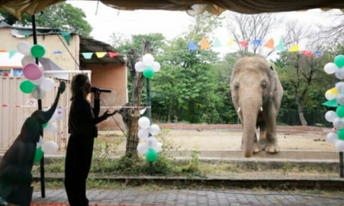Celebration welcoming Kaavan