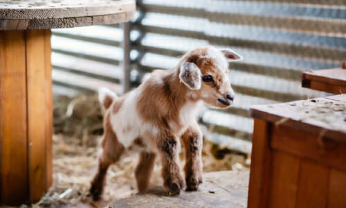 Baby Goat Missing From The  'Big Fish' Movie Set In Alabama