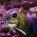 Polish Zoo Captures Rare Mouse-Deer Birth On Video