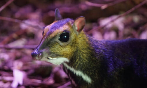 Polish Zoo Captures Rare Mouse-Deer Birth On Video