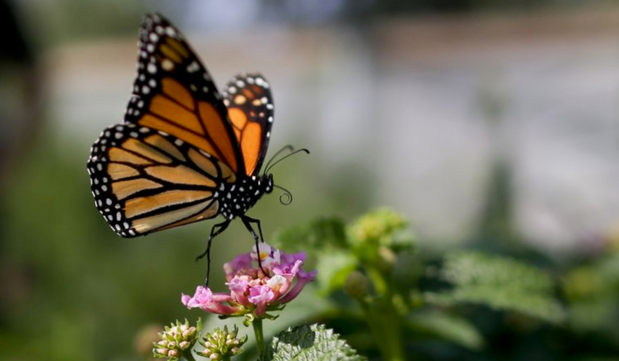 Monarch Butterfly Population Moves Closer To Extinction