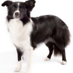 Tennessee Man Leaves  $5 Million To Pet Border Collie