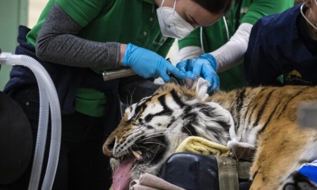 Tiger In Chicago-Area Zoo  Undergoes Second Hip Surgery