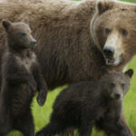 Human Parents Feel For Mama Bear Trying To Corral Her Cubs