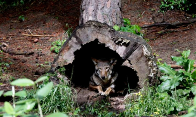 Government Releases Two More Endangered Red Wolves In NC