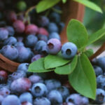 Free Blueberry Pruning Watch Party & Discussion On March 15