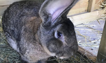 Record Holding Giant Bunny Rabbit Stolen In UK