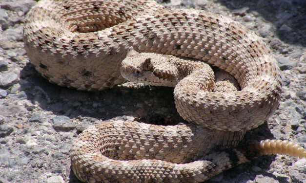 Man Bitten While Using Barbecue Tongs To Remove Rattlesnake
