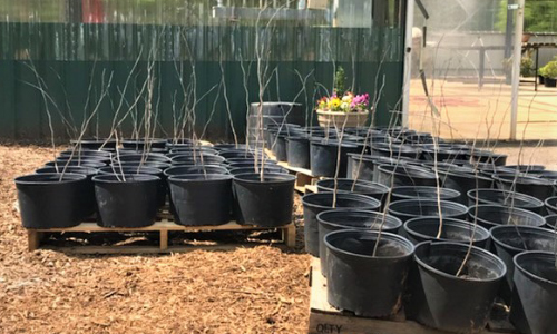 City Of Hickory and CAC To Give Away Trees This Sat., 4/24