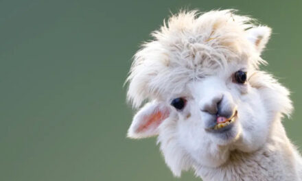 Man Used Fraudulent PPP Loan To Buy Alpaca Farm