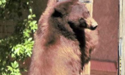Bear Has Close Call On Utility Poles In Arizona Border City