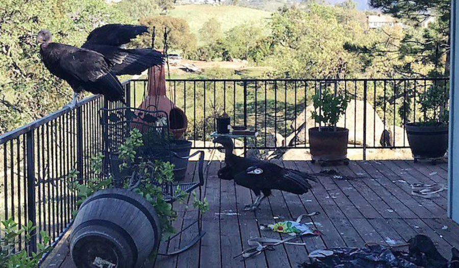 Flock Of Giant California Condors Trashes Woman's Home