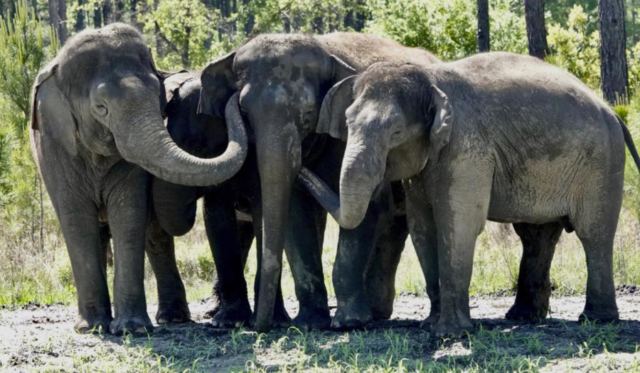 Former Circus Elephants Begin To Arrive At Florida Sanctuary