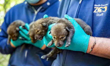Endangered Red Wolves Born At North Carolina Zoo, Doing Well