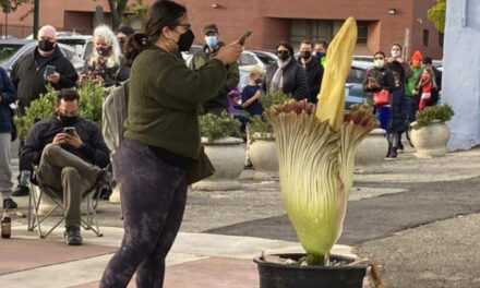 Hundreds In California Line Up For Blooming 'Corpse Flower'