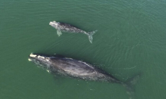 Drone Video Shows Endangered Whales Appearing To Embrace