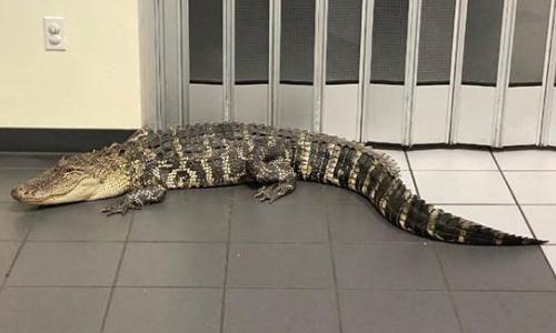Customer Finds 7-Foot Gator