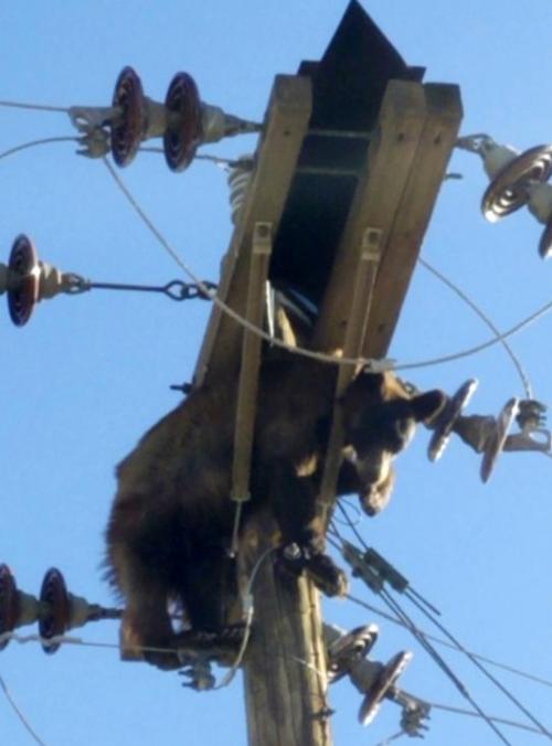 Bear Found Stuck On Power Pole