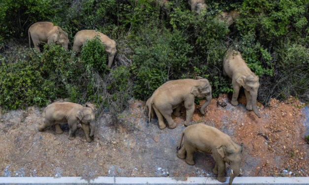 Don't Gawk Or Give Food To Wandering Elephants In China