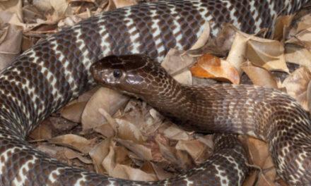 Venomous Snake On The Loose In North Carolina Capital