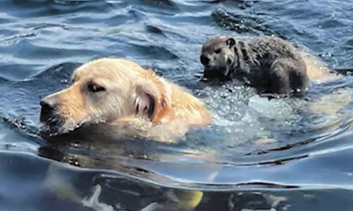 Dog Caught On Video Giving Woodchuck A Ride In Lake