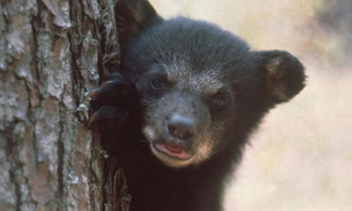 Bear Cub Strolls