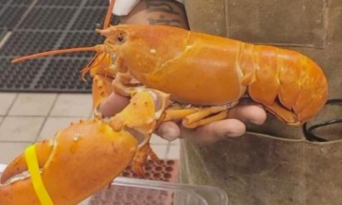 Rare Orange Lobster