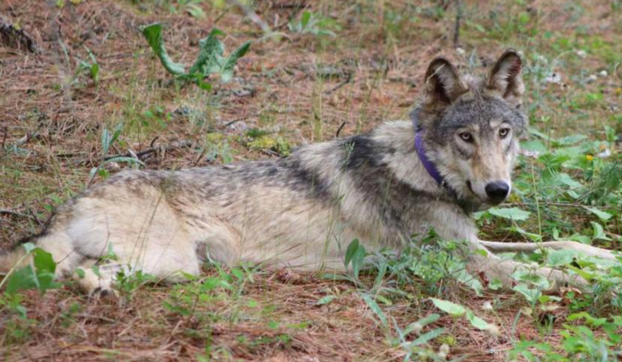 Wolf Spotted In Southern California May Be From Oregon